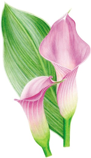 Pencil Color Drawing Flower Color Pencil Drawing Ideas