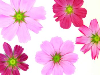 pink flowers face down on paper